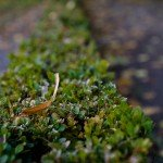 the leaf in the hedge