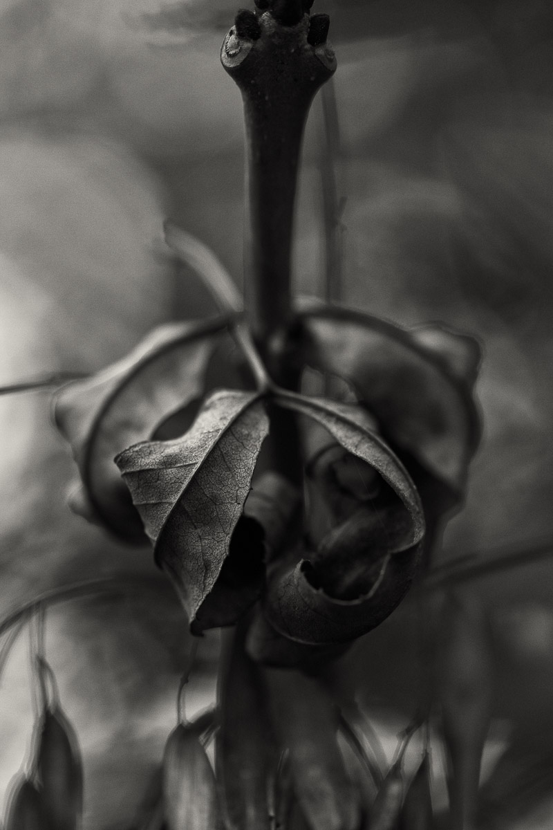 the rolled leaf